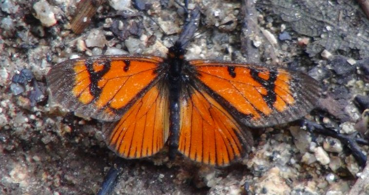 choro 14 butterfly
