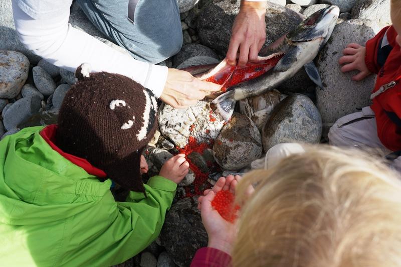 Examining a Female Sockeye Salmon